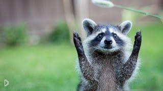 Смотреть онлайн Подборка: Милые еноты дружат с людьми