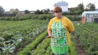 Смотреть онлайн Советы о том, как выращивать свеклу в огороде