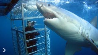 Как выглядит большая белая акула - Видео онлайн