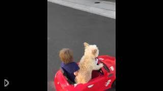 Смотреть онлайн Собака отлично водит детский автомобиль