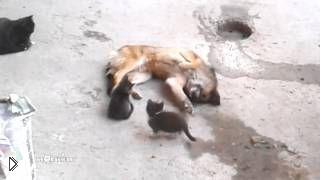Смотреть онлайн Мама кошка знакомит котят со старым другом псом