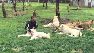 Смотреть онлайн Тигр спас человека от нападения гепарда