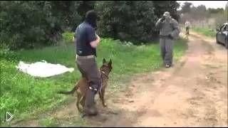 Смотреть онлайн Бельгийская овчарка как телохранитель