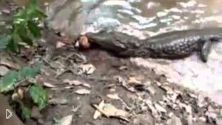 Смотреть онлайн Аллигатор погиб от удара током электрического угря