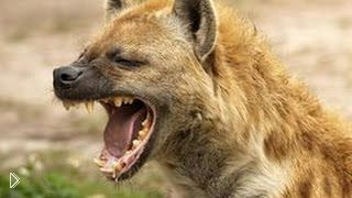 Жизнь и поведение гиен в дикой природе - Видео онлайн