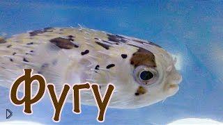 Смотреть онлайн Интересные факты о ядовитой рыбе Фугу