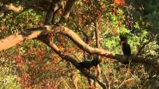Смотреть онлайн Жизнь попугаев в дикой природе