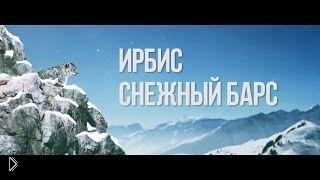 Смотреть онлайн Снежный барс в дикой природе: ирбис