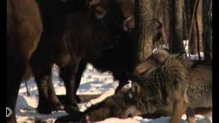 Смотреть онлайн Зубры отогнали волков от умершего детеныша