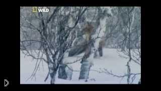 Смотреть онлайн Дикая природа Скандинавии: выживание лосей и лис