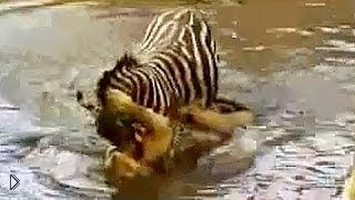 Смотреть онлайн Зебра после долгого сопротивления победила львицу