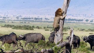 Смотреть онлайн Голодным львам так и не дали полакомиться телятиной