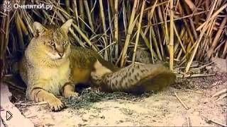 Смотреть онлайн Камышовый кот в дикой природе