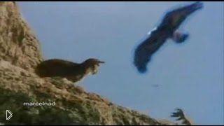 Смотреть онлайн Кадры удачной и не очень охоты орла на горного козла