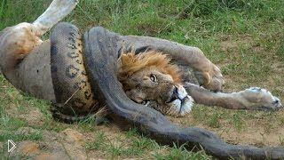 Смотреть онлайн Подборка: Бои диких кошек и питонов