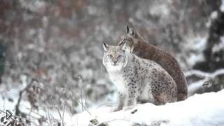 Смотреть онлайн Жизнь рысей в дикой природе