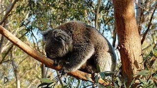 Смотреть онлайн Приключения коал в дикой природе