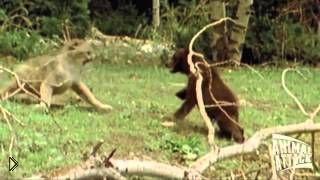 Пума атакует маленького медвежонка - Видео онлайн