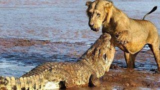 Смотреть онлайн Трое львов нападают на крокодила