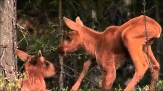 Смотреть онлайн Дикие животные: мамы и их детки