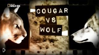 Смотреть онлайн Пумы и волки борются за выживание