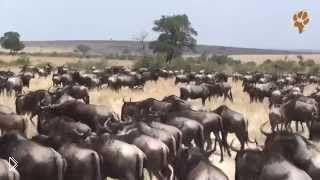 Смотреть онлайн Великая Миграция антилоп, дикая Африка