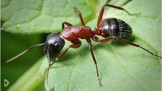 Смотреть онлайн Ядовитые муравьи в дикой природе