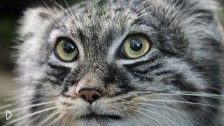 Степной кот манул в дикой природе - Видео онлайн