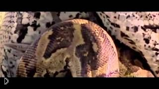 Смотреть онлайн Огромный питон съел антилопу