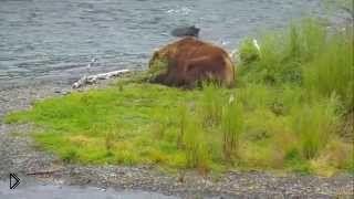 Смотреть онлайн Дикие медведи ловят рыбу на речке