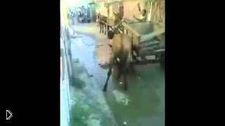 Смотреть онлайн Лошадь убивает разъяренного питбуля в схватке