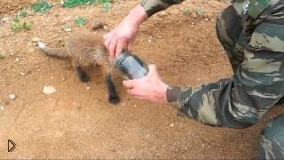 Маленький лис пришел за помощью к охотникам - Видео онлайн
