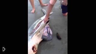 Смотреть онлайн Люди вытащили детенышей из мертвой акулы