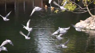 Документальный фильм о голубях - Видео онлайн