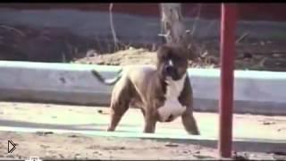 Смотреть онлайн Жестокое нападение собаки на людей