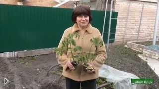 Смотреть онлайн Как высадить рассаду томатов ранней весной