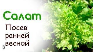 Сажаем семена салата в открытый грунт - Видео онлайн