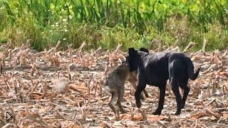 Смотреть онлайн Собака гонится за зайцем, затем убивает его