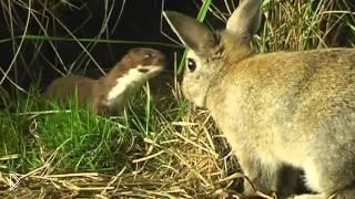 Смотреть онлайн Ласка загрызает кролика до смерти