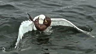 Смотреть онлайн Борьба за жизнь хорька с чайкой на воде