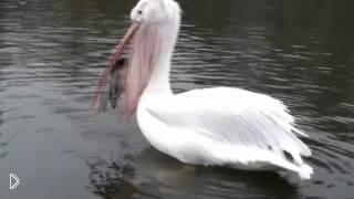 Смотреть онлайн Пеликан живьем съел голубя