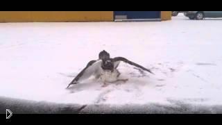Ястреб убивает чайку и ест ее - Видео онлайн