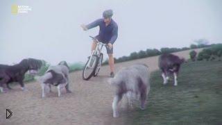 Смотреть онлайн Как велосипедисту защититься от стаи собак
