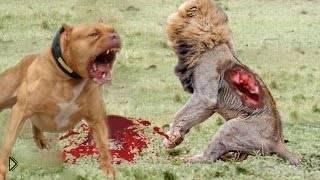 Смотреть онлайн Подборка: Животные нападают друг на друга