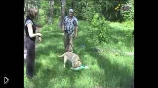 Смотреть онлайн Как дрессировать щенка лабрадора