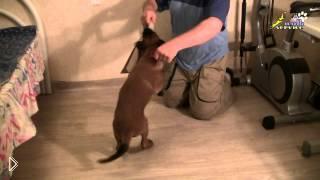Смотреть онлайн Дрессировка собак: приучаем пса к ошейнику