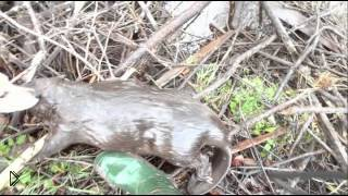 Смотреть онлайн Охота на бобра с помощью ловушек