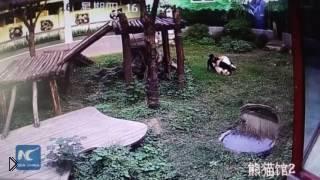Смотреть онлайн Парень перелез в вольер к панде, а она на него напала