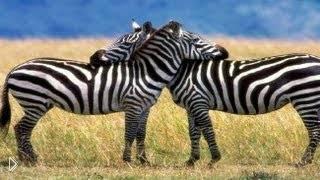 Смотреть онлайн Как рисовать зебру простым карандашом