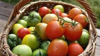Смотреть онлайн Правила ухода за кустами томатов